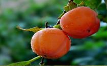 高血压可以吃柿饼吗 柿饼不能同什么一起吃