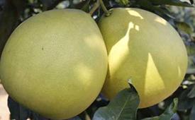 剥开的柚子没熟怎么办 柚子剥开后可以放几天
