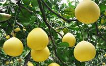 感冒可以吃柚子吗 感冒咳嗽吃柚子好不好