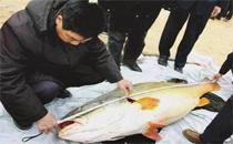 天价鱼卖出347万是什么鱼 黄唇鱼为什么那么贵